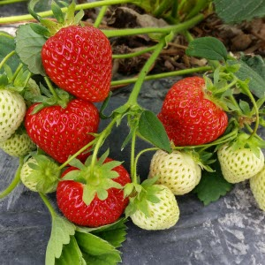Mogna och omogna jordgubbar