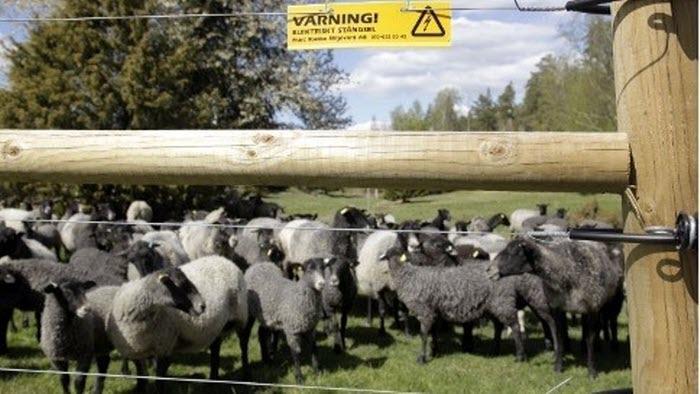 lamm bakom rovdjursstängsel