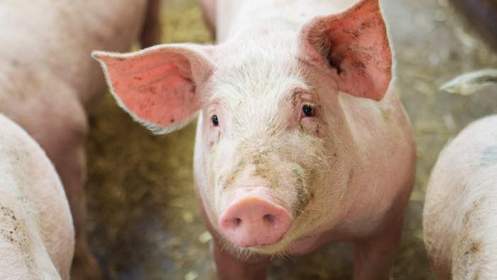 En av grisarna. Esplunda lantbruk. Foto: Ester Sorri.