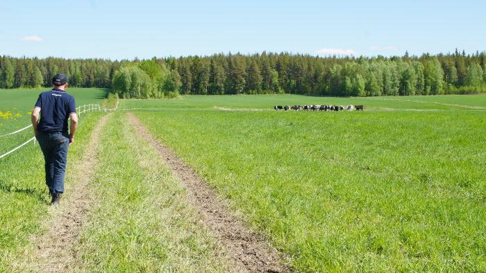 bonde tittar till kvigor på bete i Lillpite, Norrbotten