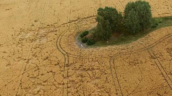 Havrefält där främst kronhjort orsakat stora skador