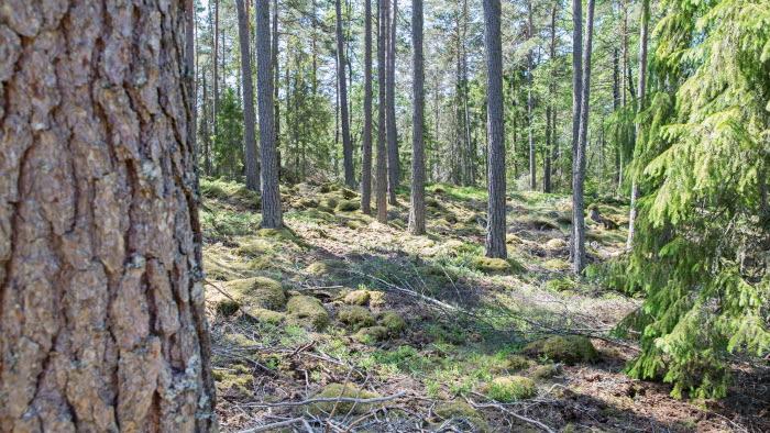 Skog med tall i närbild