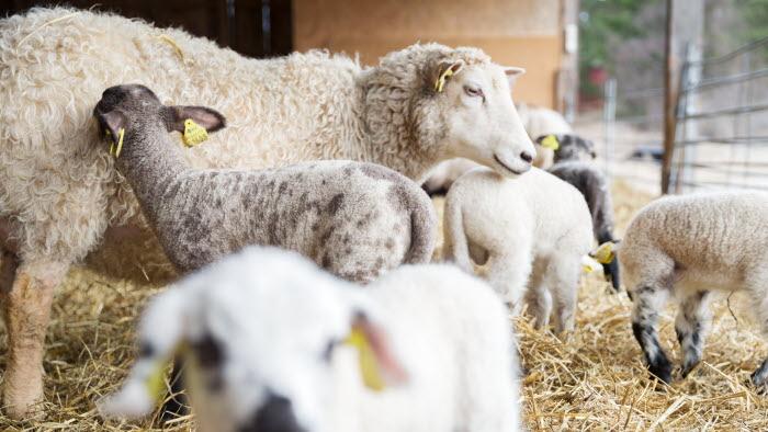 Får och lamm på Grindtorps gård