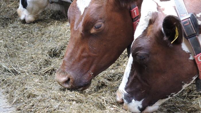 Utfodring av mjölkkor