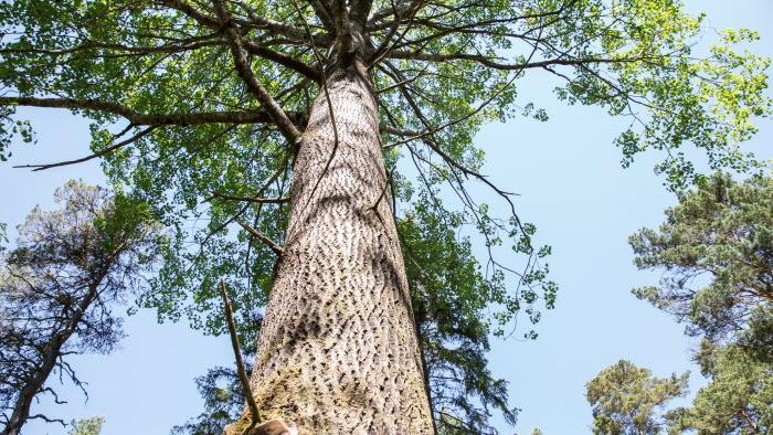 Närbild på högt lövträd