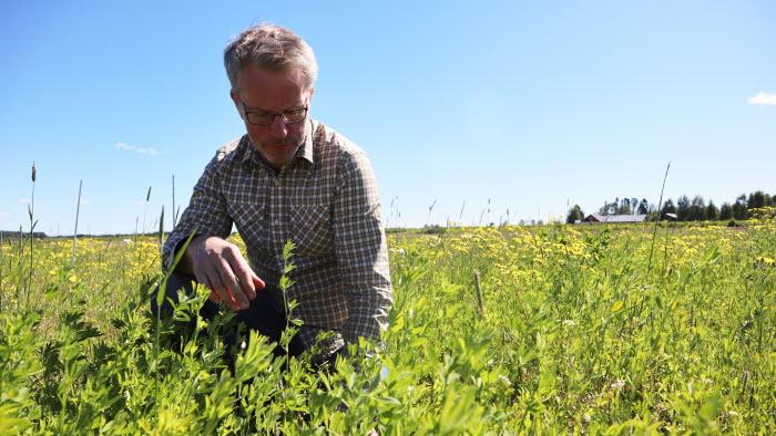 Öjebyn Agro Park Jan Nilsson Protein odling gullusern