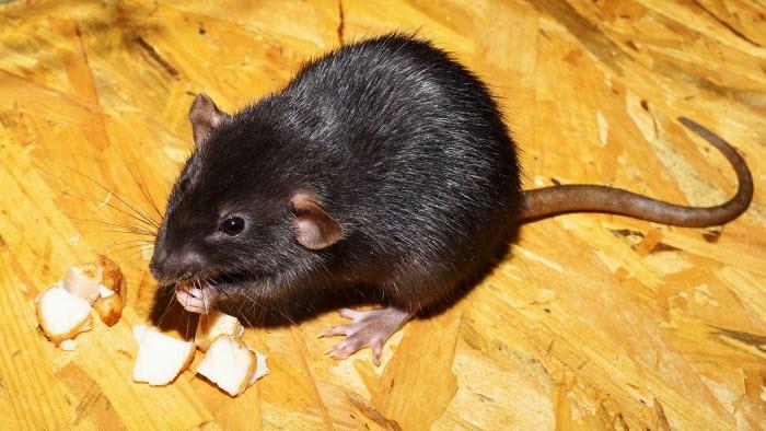 Råtta, bild från pixabay, fri användning