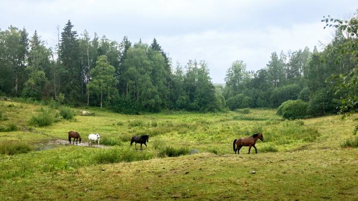 Fyra hästar kommer ösande genom hagen