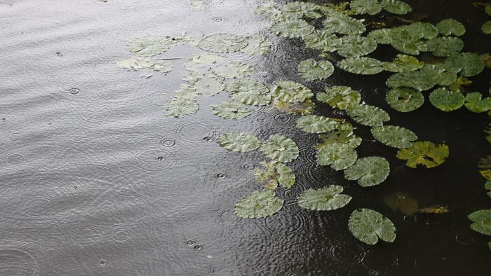 Regn i å med näckrosblad