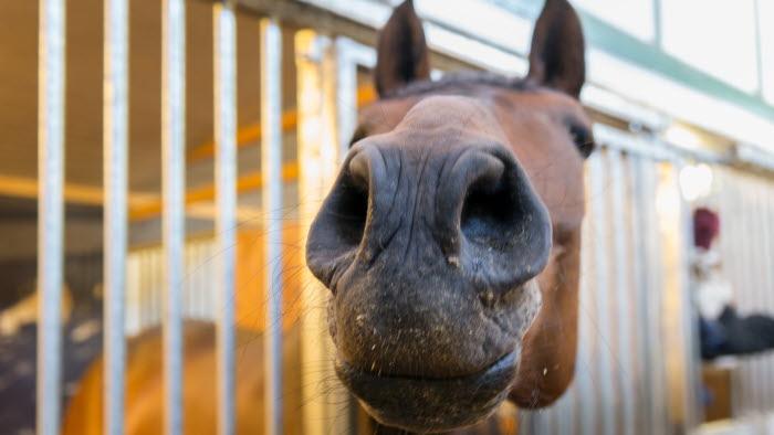 Närbild på häst som sticker ut huvudet från box