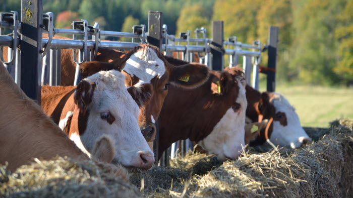 Kor i hage på Berga Naturbruksgymnasium