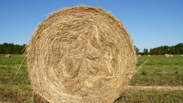 Rullade gräsbalar på gält som ännu inte plastats in, i norrländskt landskap (Västerbotten)