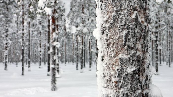 skog i vinterskrud i Fällfors, Västerbotten