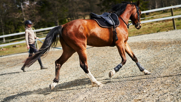 Häst i träning.