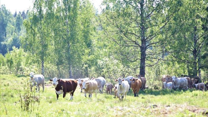 Romeotjur med kor