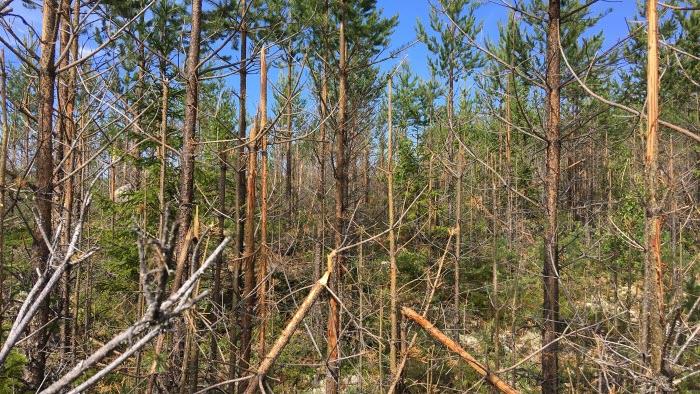 Skada från älg på skog