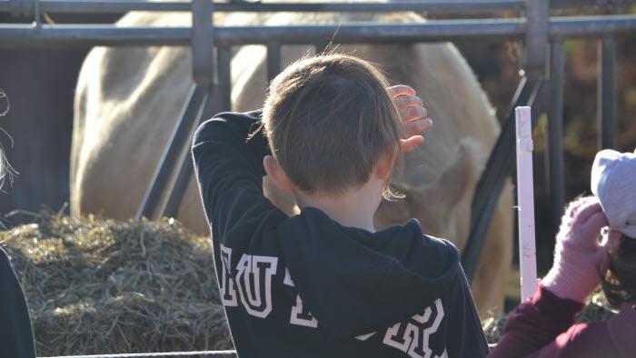 Pojke tittar på ko på Bonden i skolan på Berga
