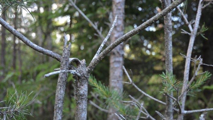 Så här ser resultatet ut när en älgko med kalvar betat tall. Honknäcker toppen på plantan så att kalvarna når att beta. Foto: Berit Stridh
