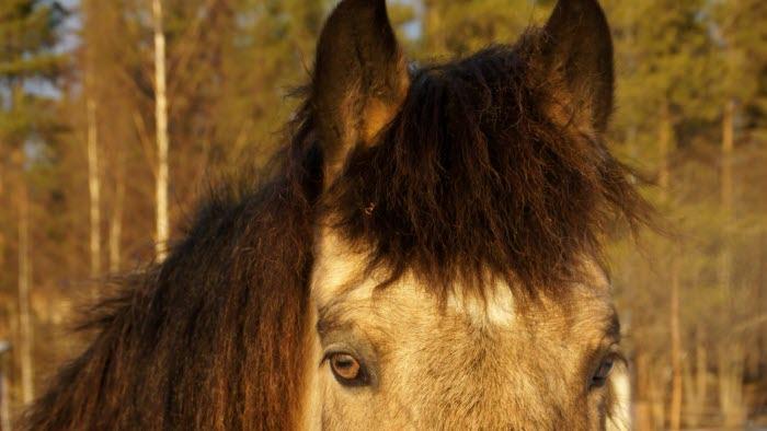 Häst på stall i Brönet, Skellefteå, Västerbotten