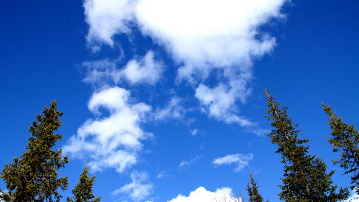 granskog och himmel
