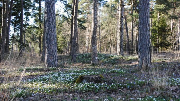 Vitsippor Gotland