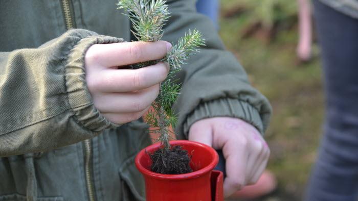 Elever planterar granplantor