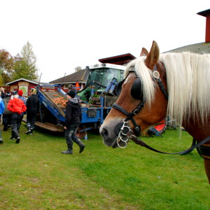 Hästskjuts och visning av maskiner för morotsodling är några av aktiviteterna som genomförts på Jorden & skogen i stan i Öjebyn.