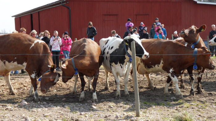 Jonnagårdens kor mötte drygt 200 scouter vid kosläpp.