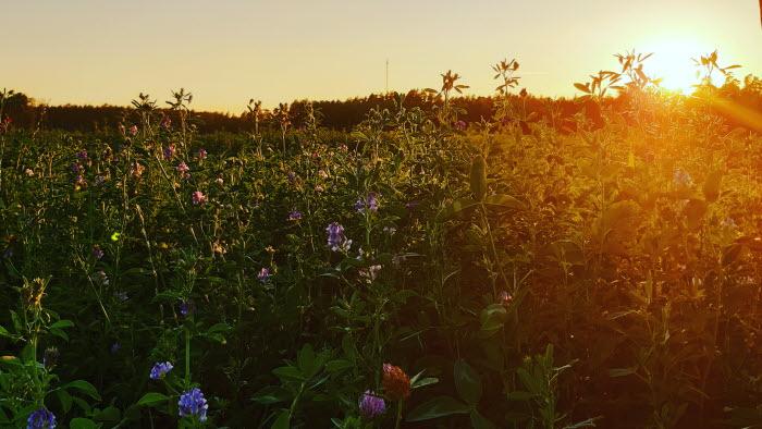 Solnedgång över fält med