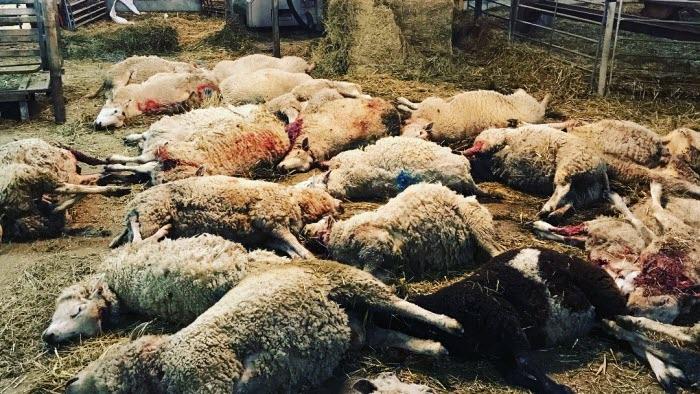 Döda får rivna av varg