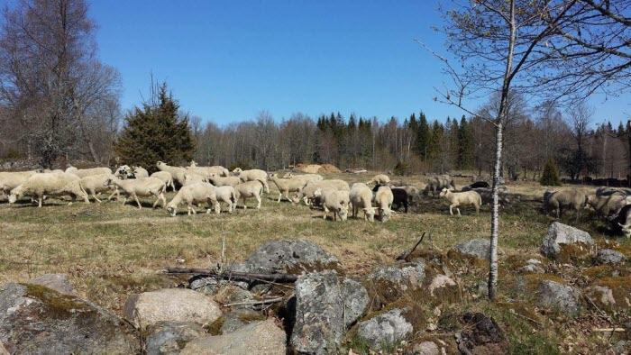 Lammsläpp Grimserud 2019