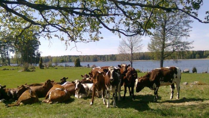 Bilder från Wallerängs mjölkgård i hedesunda