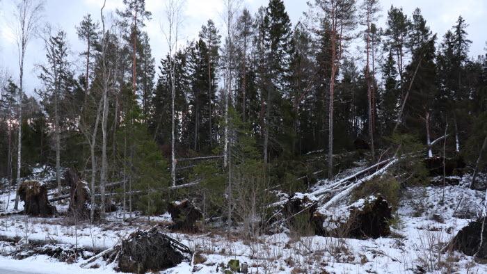 Stormfälld skog
